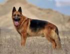 纯种德国牧羊犬 工作犬 自家养殖 品相**