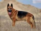 纯种德国牧羊犬 工作犬 自家养殖 品相一流