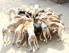 浙江哪里有卖格力犬的惠比特犬细犬