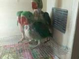玩赏鸟价格550