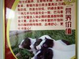 香猪种猪猪崽养殖出售
