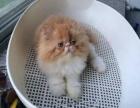 精品波斯猫 自家猫舍十年繁殖 只做品质