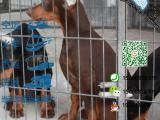 宠物店和狗市里的杜宾犬可以买吗 健康的多少钱一只
