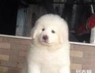 自家大白熊宝宝出售超大骨架纯种健康可上门看大狗在家