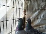 信鸽元宝落的或观赏鸽