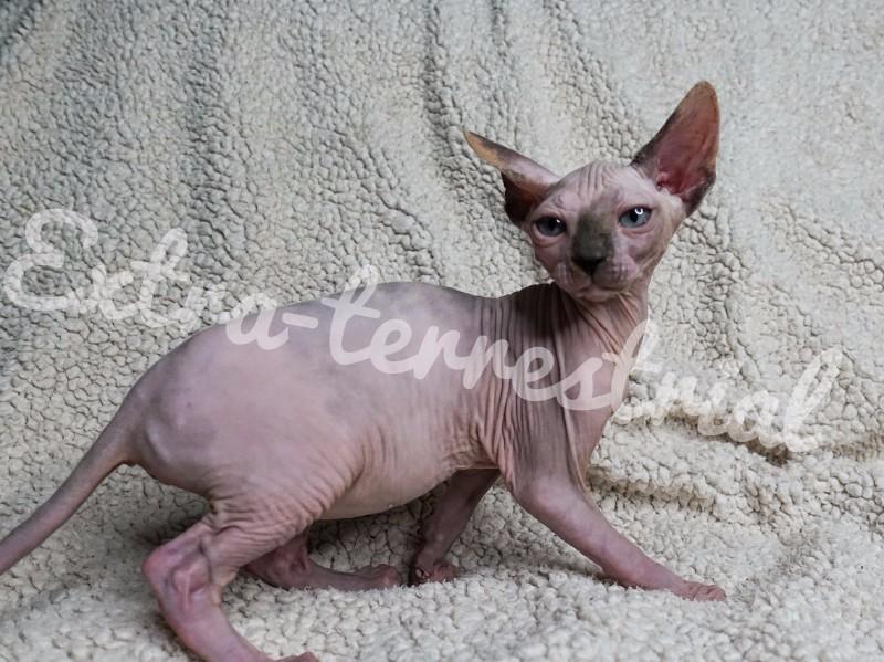 斯芬克斯无毛猫妹妹小母猫宠物猫