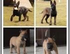 马犬纯种幼犬出售 红马 短毛犬 护卫犬警犬