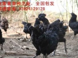 广东乌肉鸡苗厂家,诚招销售代理