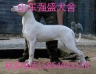 杜高犬-杜高犬价格-杜高幼犬-成年杜高犬