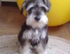 武汉出售纯种雪纳瑞幼犬迷你标准型小体雪纳瑞活体
