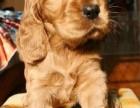 上海哪里有可卡犬卖 泰迪金毛哈士奇秋田博美阿拉多少钱价格
