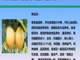 黄金梨苗批发供应 果树苗基地自产自销 优质纯种黄金梨树苗