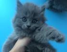 英国短毛猫,蓝猫,银渐层,宠物猫一可上门挑选