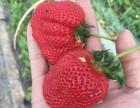 青岛朋友们户外旅游采摘好先生家较甜的草莓