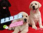 簧赘纯种导盲犬拉布拉多,温顺听话,健康保证