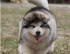 出售纯种阿拉斯加犬幼犬熊版阿拉斯加大骨架精品雪橇犬