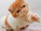 自家养殖种猫繁殖纯种健康加菲幼猫弟弟妹妹都有可以上门挑选
