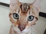 孟加拉豹猫 小猫咪 豹猫