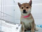 上海柴犬多少钱 纯种日本柴犬 带证书和芯片