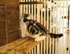 成都买猫去哪里成都买蓝猫成都哪里有正规猫舍