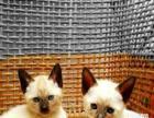 家养一窝超萌暹罗猫幼崽一窝,家养小猫,萌到哭