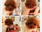 郑州狗狗之家长期出售高品质博美 泰迪 比熊 售后无忧