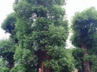 50公分香樟60公分香樟树价格-益阳市资阳区瑞景园林基地