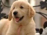黄金猎犬金毛犬出售品质养殖场直销金毛犬健康保证签署协议
