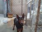 纯种莱州红幼犬价格,出售纯种莱州红犬