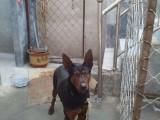 七台河莱州红犬价格,出售纯种莱州红幼犬