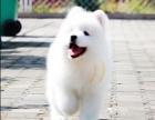 萨摩耶犬纯种家养繁殖萨摩耶出售精品家养活体宠物狗