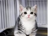 浙江杭州純種豹貓幼崽低價出售