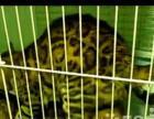 50天豹猫小崽开始出售了