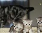新生英短美短猫咪DDMM