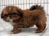 韩国引进种犬,赛级西施犬,三个月免费退换