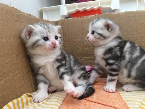 西安哪里有美短猫虎斑加白卖 纯血统 萌翻你的眼球 品质保障