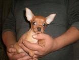 小鹿犬纯种家养繁殖小鹿出售精品家养活体宠物狗