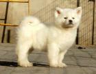 中国较大双血统秋田犬繁殖基地 可实地考察