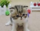家养玳瑁波斯母猫