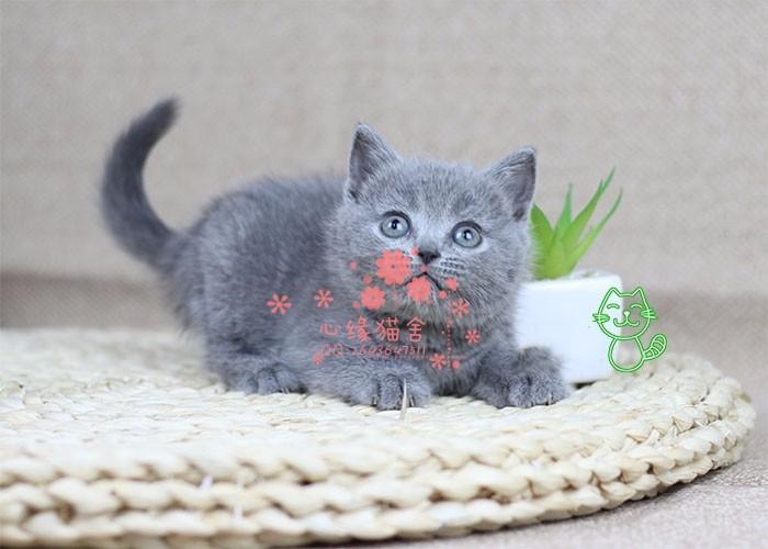 哈尔滨哪里有卖蓝猫的较便宜多少钱一只