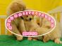 阳光灿烂的黄金猎犬金毛幼犬,热情洋溢,人见人爱