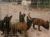 攀枝花买马犬-攀枝花工作犬俱乐部-出售纯种马犬小狗2个月大