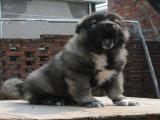 专业繁殖纯种健康高加索幼犬 可签协议