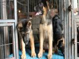 黑背幼犬钱 里能买到黑背