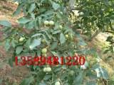 核桃树苗哪家便宜早熟核桃树苗品种冠核一号核桃苗成熟期自然裂口