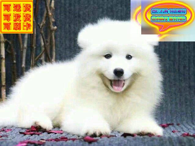 微笑天使 萨摩耶 出售 纯种健康 品质保证
