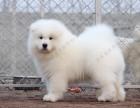 微笑天使萨摩耶犬,北京萨摩耶犬舍,纯种萨摩耶犬,多窝可选