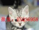 待出售 英国短毛猫 三花妹妹 繁育基因库 已打疫苗