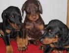 高品质德系杜宾幼犬出售 头版正 骨量大 色素深