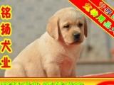 犬舍出售健康纯种 拉拉犬签订协议可刷卡可送货